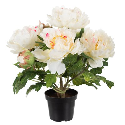 Peony in a pot white
