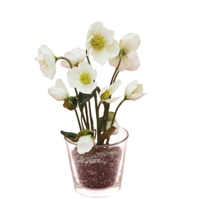 Christmas rose in a glass pot